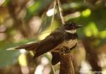 Kipasan Belang | Pied Fantail | Rhipidura javanica