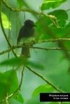 Kipasan Bukit | White-bellied Fantail | Rhipidura euryura