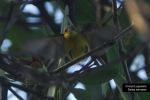 Burungmadu Sriganti | Olive-backed Sunbird | Cinnyris jugularis
