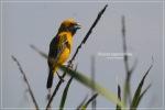 Manyar Emas | Asian Golden Weaver | Ploceus hypoxanthus