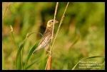 Manyar Jambul | Streaked Weaver | Ploceus manyar