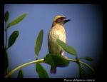 Manyar Tempua \ Baya Weaver | Ploceus philippinus