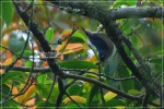 Munguk Beledu | Velvet-fronted Nuthatch | Sitta frontalis