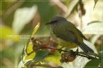 Opior Jawa | Grey-throated Ibon | Lophozosterops javanicus frontalis