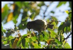 Opior Jawa | Grey-throated Ibon | Lophozosterops javanicus