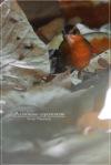 Pelanduk Topi-hitam   Black-capped Babbler   Pellorneum capistratum