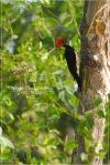 Pelatuk Ayam | White-bellied Woodpecker | Dryocopus javensis