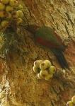 Pelatuk Kumis Kelabu | Checker-throated Woodpecker | Picus mentalis