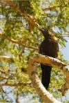 Pelatuk Sayap-merah | Crimson-winged Woodpecker | Picus puniceus