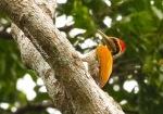 Pelatuk Tunggir-emas | Greater Goldenback | Chrysocolaptes lucidus