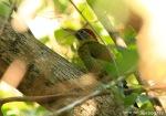 Pelatuk Hijau | Laced Woodpecker | Picus vittatus