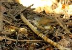Pelanduk Semak   Horsfield Babbler   Malacocincla sepiarium