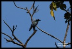Perling Kecil | Short-tailed Starling | Aplonis minor