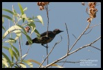 Perling Kumbang | Asian Glossy Starling | Aplonis panayensis
