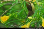 Pijantung Besar | Long-billed Spiderhunter | Arachnothera robusta