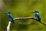 Rajaudang Biru | Cerulean Kingfisher | Alcedo coerulescens