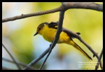 Sepah Hutan | Scarlet Minivet | Pericrocotus flammeus