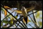 Sepah Kerdil | Little Minivet | Pericrocotus cinnamomeus