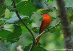 Sepah Gunung | Sunda Minivet | Pericrocotus miniatus