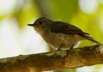 Sikatan Belang | Little Pied Flycatcher | Ficedula westermanni