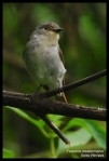 Sikatan Belang | Little Pied Flycatcher | Ficedula westermanni