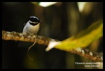 Sikatan Belang   Little Pied Flycatcher   Ficedula westermanni