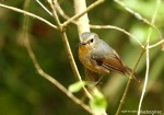 Sikatan Bodoh | Snowy-browed Flycatcher | Ficedula hyperythra