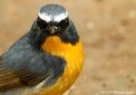 Sikatan Bodoh | Snowy-browed Flycatcher | Ficedula hyperythra