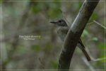 Sikatan Bubik | Asian Brown Flycatcher | Muscicapa dauurica