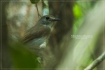 Sikatan Bubik   Asian Brown Flycatcher   Muscicapa dauurica
