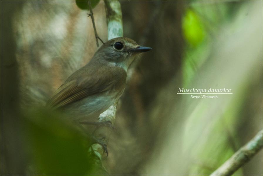 Sikatan Bubik Asian Brown Flycatcher Muscicapa Dauurica Matamu