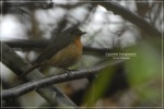 Sikatan Cacing | Hill Blue Flycatcher | Cyornis banyumas