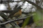 Sikatan Cacing   Hill Blue Flycatcher   Cyornis banyumas
