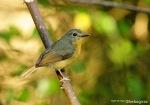 Sikatan Mugimaki | Mugimaki Flycatcher | Ficedula mugimaki