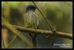 Sikatan Ninon   Indigo Flycatcher   Eumyias indigo