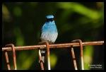 Sikatan Ninon | Indigo Flycatcher | Eumyias indigo