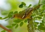 Cipoh Kacat | Common Iora | Aegithina tiphia
