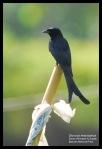 Srigunting Hitam | Black Drongo | Dicrurus macrocercus