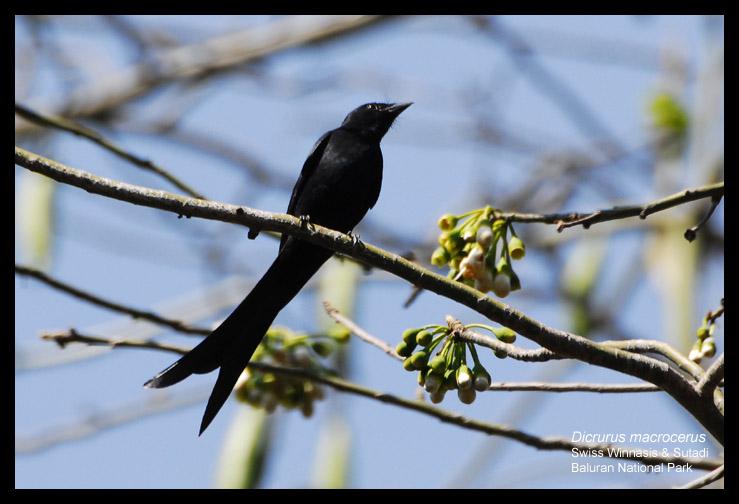Srigunting Hitam Black Drongo Dicrurus Macrocercus Matamu