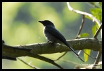 Srigunting Kelabu | Ashy Drongo | Dicrurus leucophaeus