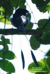 Srigunting Bukit | Lesser Racquet-tailed Drongo | Dicrurus remifer