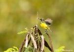 Burung madu Sumba | Apricot-breasted Sunbird | Cinnyris buettikoferi