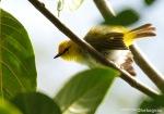 Kacamata Wallacea | Yellow-ringed White-eye | Zosterops wallacei