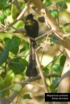 Tangkar Centrong | Racket-tailed Treepie | Crypsirina temia