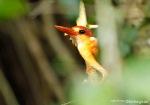 Udang Api | Ceyx erithaca
