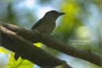 Kancilan Bakau | Mangrove Whistler | Pachycephala grisola