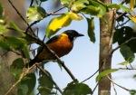 Kancilan Emas | Australian Golden Whistler | Pachycephala pectoralis