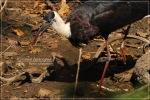 Bangau Sandang-lawe   Woolly-necked Stork   Ciconia espiscopus