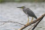 Kokokan Laut | Striated Heron | Butorides striatus