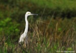 Kuntul Kecil | Little Egret | Egretta garzetta
